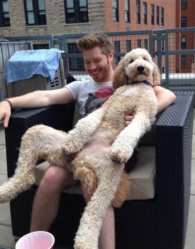 O cachorro que só quer ficar de boa no seu colo: